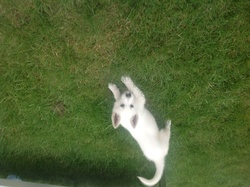 Ixo, chien Berger blanc suisse