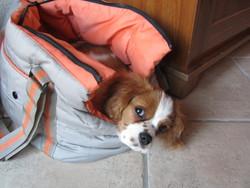 Ixo, chien Cavalier King Charles Spaniel