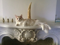 Ixo, chat Maine Coon