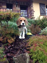 Ixon, chien Beagle