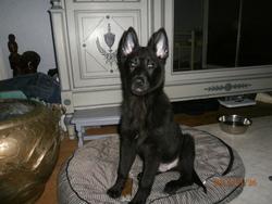 Ixor, chien Berger belge