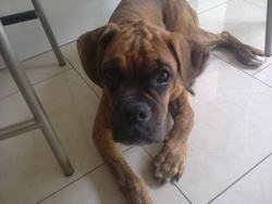 Ixy, chien Boxer