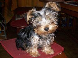 Ixy, chien Yorkshire Terrier