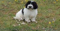 Iza, chien Coton de Tuléar