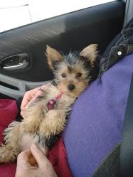 Iza, chien Yorkshire Terrier
