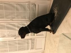 Izaak, chien Dobermann