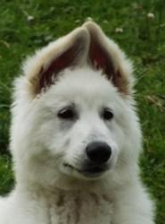 Izack Du Terrier Des Loups Blancs, chien Berger blanc suisse