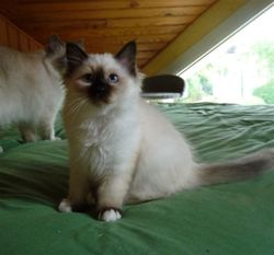 Izadora , chat Birman