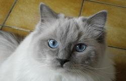 Izaé, chat Ragdoll