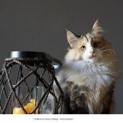 Izaia Des Graulière, chat Norvégien