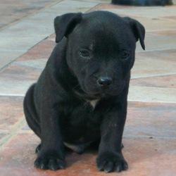 Izak, chien Staffordshire Bull Terrier