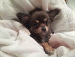 Izao, chien Chihuahua