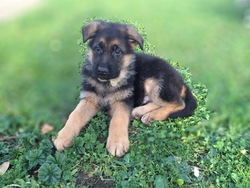 Izard, chien Berger allemand