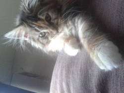 Izi Girl, chat Maine Coon