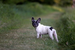 Izia, chien Bouledogue français