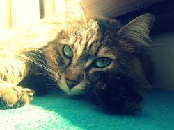Izia, chat Européen