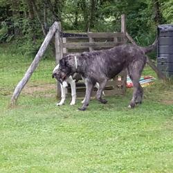 Izia, chien Lévrier irlandais