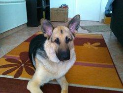 Izia, chien Berger allemand
