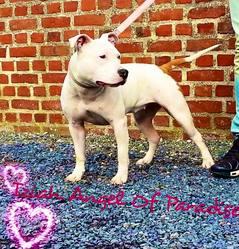 Iziah Alias Xena, chien American Staffordshire Terrier