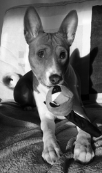 Izie, chien Basenji