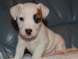 Izie , chien Parson Russell Terrier
