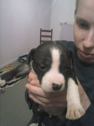 Izie, chien American Staffordshire Terrier