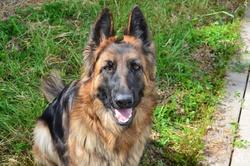 Izis, chien Berger allemand