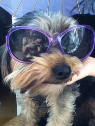 Izis, chien Yorkshire Terrier