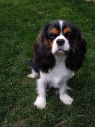 Izmo , chien Cavalier King Charles Spaniel