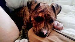 Izno, chien American Staffordshire Terrier