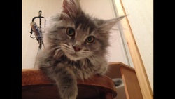 Izo, chat Maine Coon