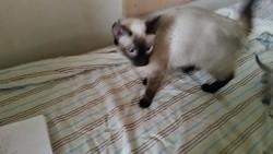 Izoa D'Asrelam, chat Siamois