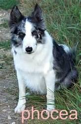 Izoor, chien Border Collie