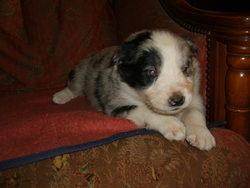 Izor, chien Border Collie