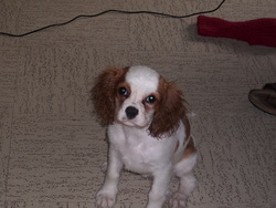 Izora, chien Cavalier King Charles Spaniel