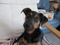 Izou, chien