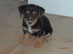 Izou, chien Yorkshire Terrier