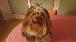 Izumy, chien Yorkshire Terrier