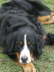 Izy, chien Bouvier bernois