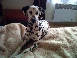 Izy, chien Dalmatien