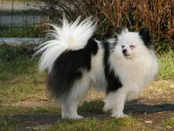 Izy, chien Spitz allemand