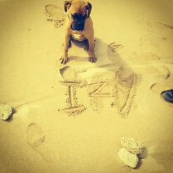 Izy, chien Boxer
