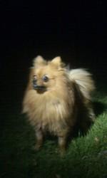 Izy, chien Spitz japonais