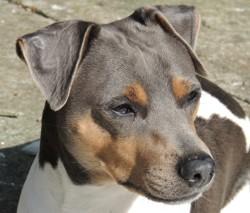Izy - Impeto, chien Terrier brésilien