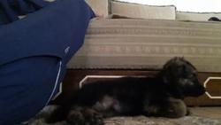 Izys, chien Berger allemand