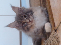 Izzidor, chat Maine Coon