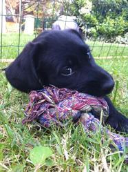 Izzie, chien Labrador Retriever