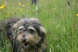 Izzie, chien Griffon nivernais