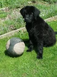 Izzie, chien Terre-Neuve