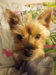 Izzie, chien Yorkshire Terrier